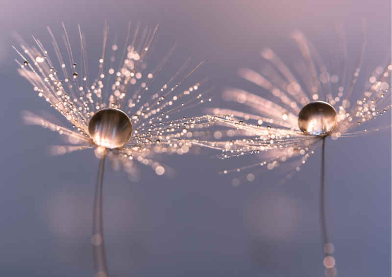 Dandelion with drops of water in a beautiful tonality