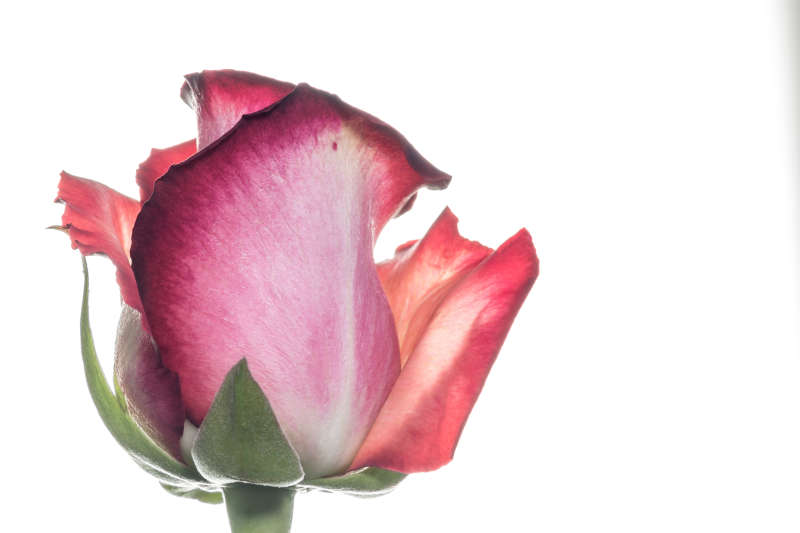 high key single rose 800